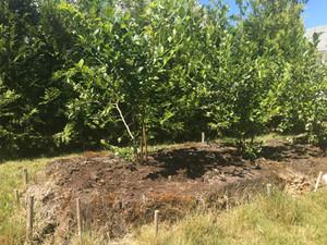 Plantering odlade blåbär