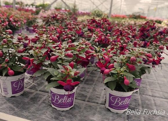 Bella Fushia flowers