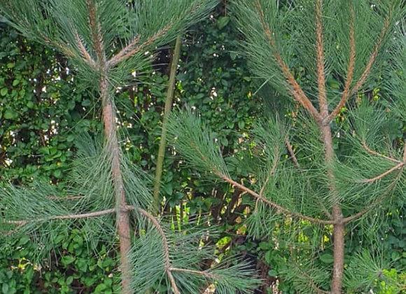 Black Pine Trees (160cm)