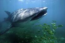 squalo balena2.jpg