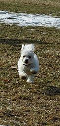 Star the Bichon Frise Therapy Dog Runnin Free