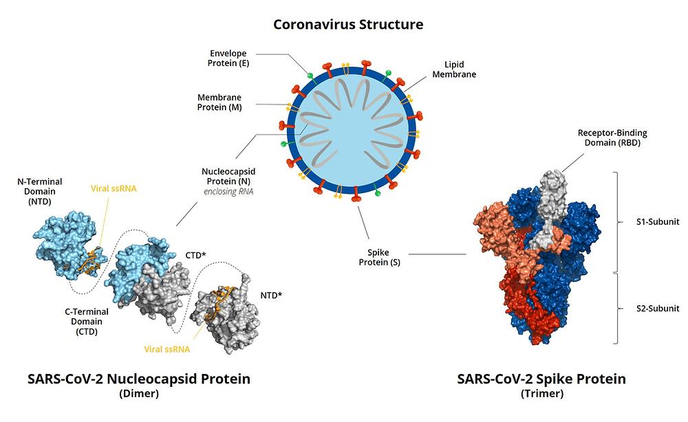 SARS-CoV-2 Nucleocapsid and Spike 3D Cryo-EM Images