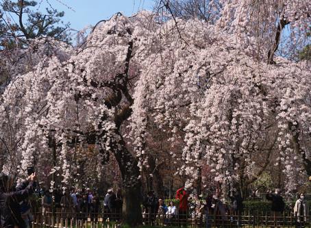 京都御苑・近衛邸跡の枝垂れ桜2020/3/21