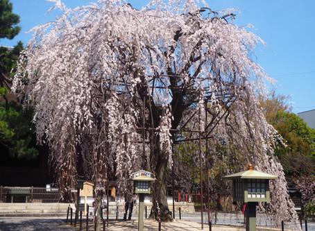 千本釈迦堂のおかめ桜がほぼ満開です2020/3/26