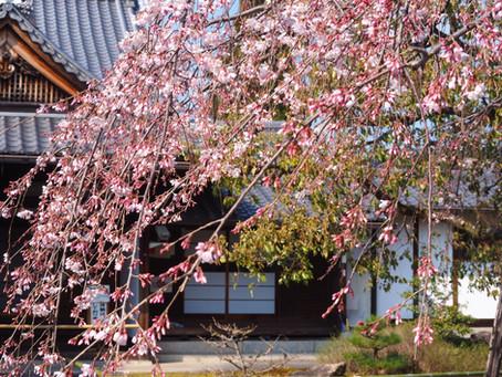上品蓮台寺と平野神社の桜がもうちょこっと咲き始めてます〜2020/3/18
