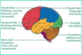 Brain-and-function.jpg