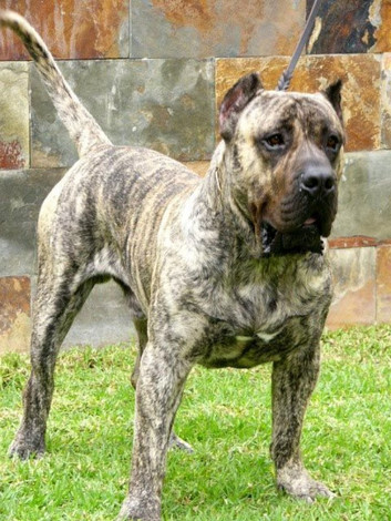 World Champion Presa Canario