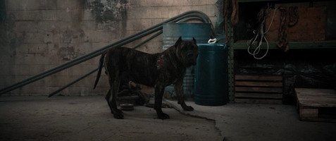Presa Canario Han Solo the Bullet Head Dog