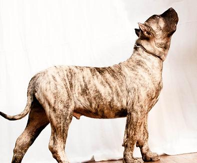 Top Presa Canario Breeder in the world