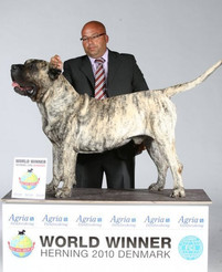 World Champion Presa Canario