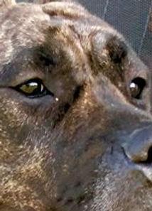 Best Presa Canario Breeder in the World - Malina de Coquistador