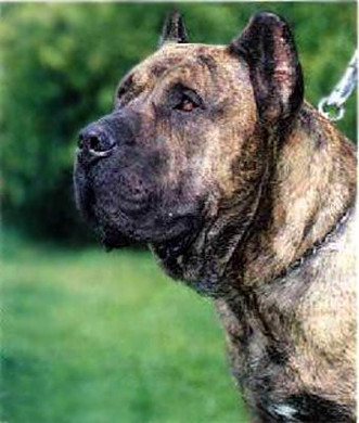 Best Presa Canario in the world
