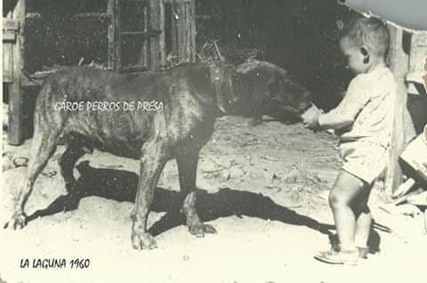 Old Presa Canario Picture