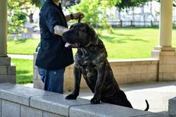 Presa Canario puppy for sale