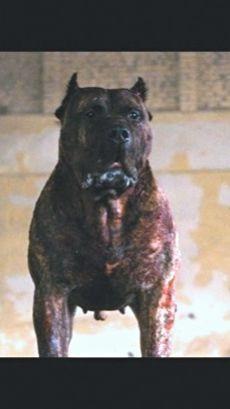 Han Solo the Bullet Head Dog