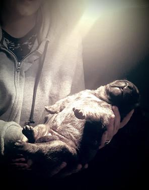 Presa Canario Newborn