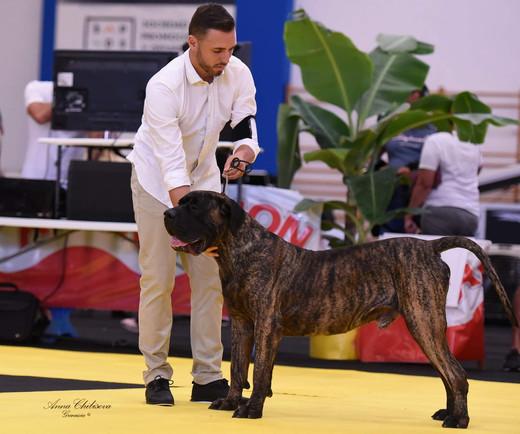 Best Presa Canario breeder in the World