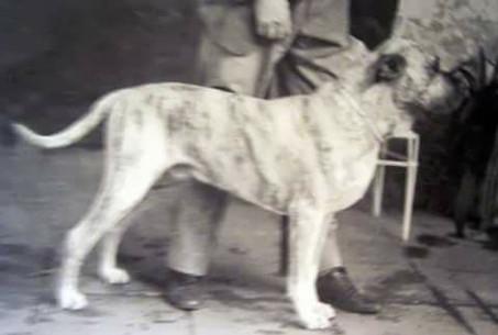 Presa Canario historical photo