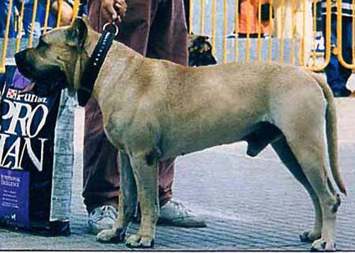 Champion presa canario