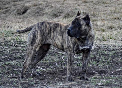 top presa canario breeder
