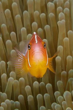 Anemone Fish, Tufi Resort, Papua NEw Guinea
