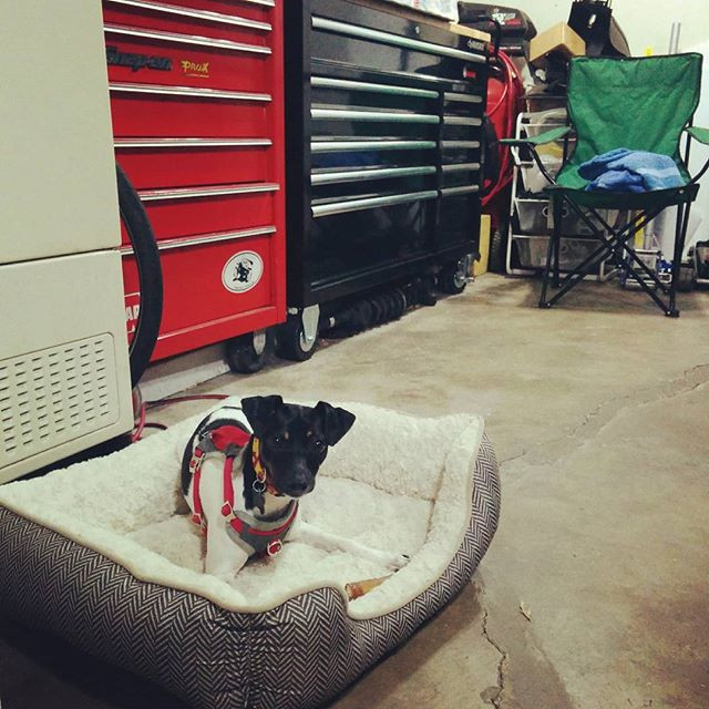 #ratterrier _welove_ratterriers #shopdog