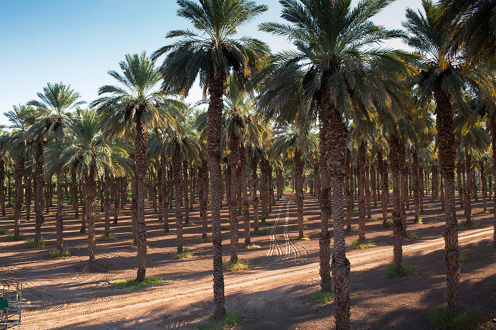 Photo of plantation of Medjool date palms in California