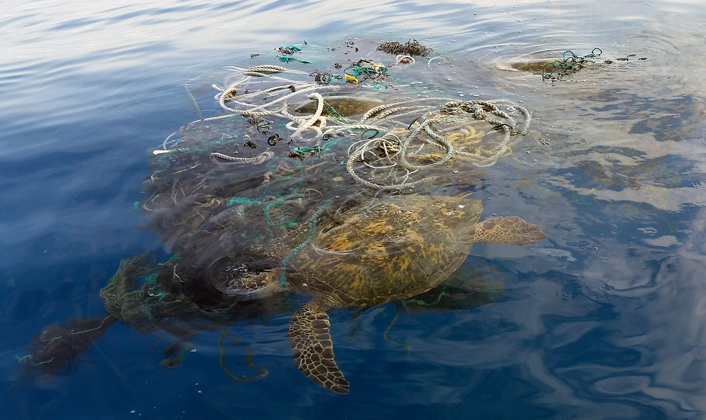 Photo of sea turtle caught in old fishing net. Photo credit: (U.S. Coast Guard photo by Petty Officer 1st Class Matthew Young/Released)