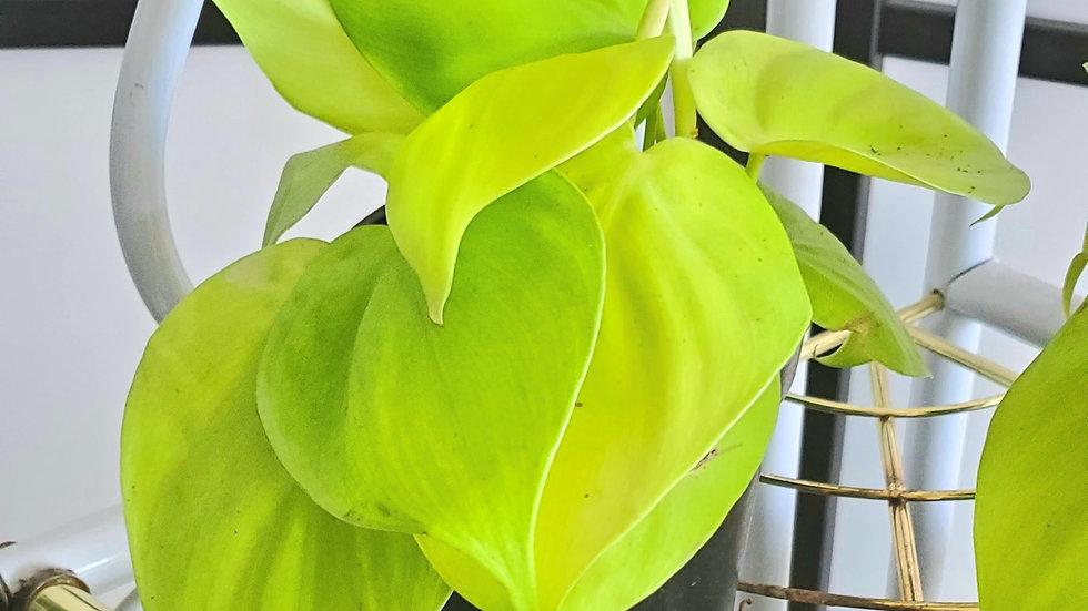 Philodendron 'Lemon Lime'