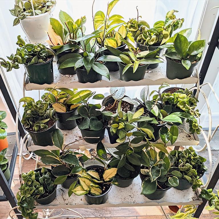 Plant Practice, Hoya Edition!