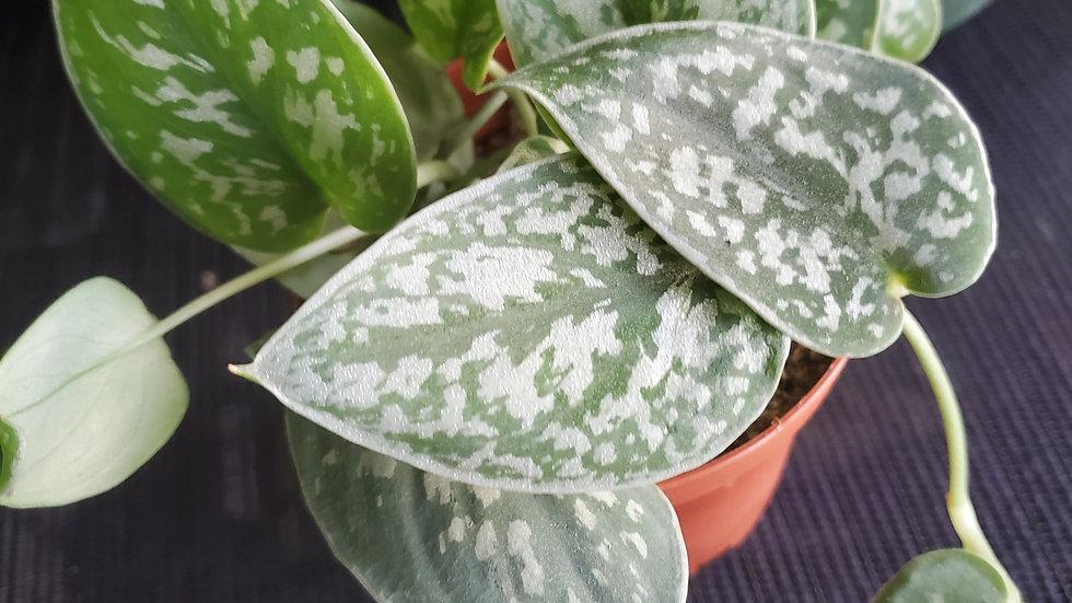 Scindapsus pictus argyraeus