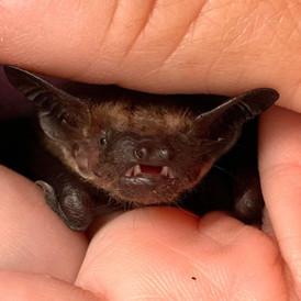 Bruce the Bat