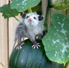 Opossum Pumpkin