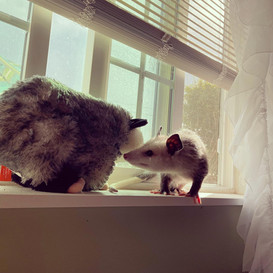 Opossum Friends
