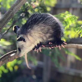 Blossom the Opossum