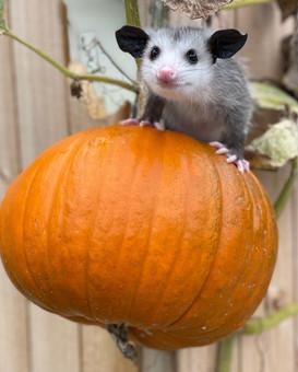Little Tiny Opossum Sittin on a Pumpkin