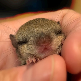 Baby Flying Squirrel