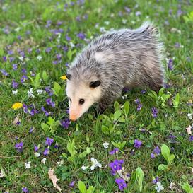 Ginny the Opossum