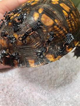Turtle's Broken Shell Being Mended Back Together!