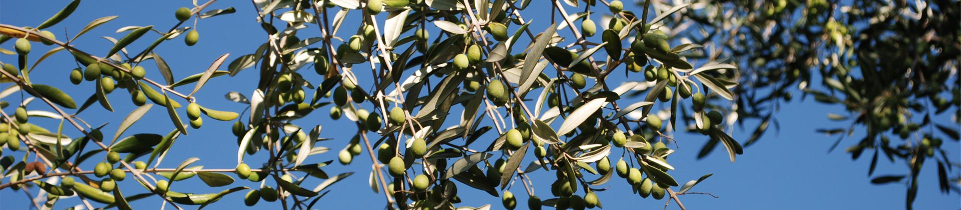 olive_banner.jpg