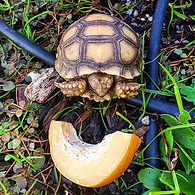 1 month old African Spurred tortoise vs.