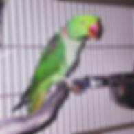 Carlos, rescued parakeet species.jpg