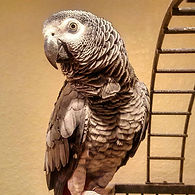 African Grey parrots are incredibly inte