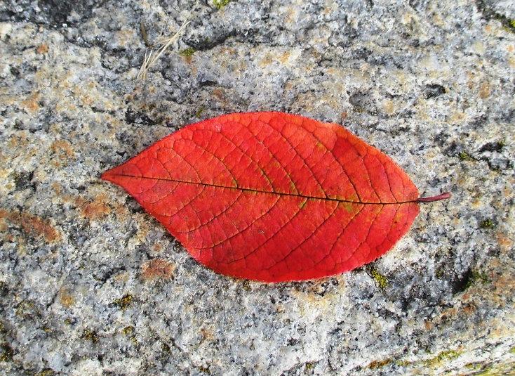 Devostock+Beech+Autumn+Leaf+Leaf-ID70334