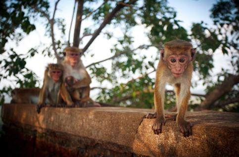 Monkey_sigiriya.jpg