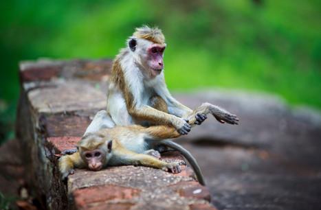 Monkey_Ayurveda.jpg