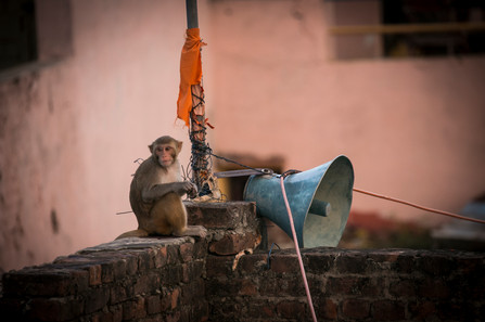 Welcome to Agra - city ruled by monkeys