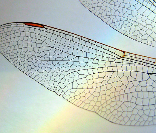 nature-7 dragon fly wings.jpg