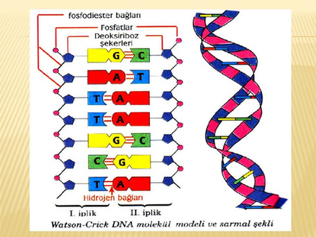 BAKTERİ GENETİĞİNDE PROKARYOTİK DNA VE RNA
