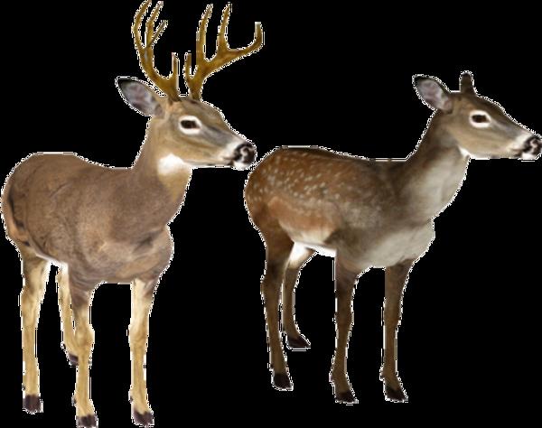 Deer_edited.png